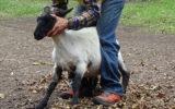 羊の飼育頭数、日本一!?道東池田町でシープドッグショー【ボーヤファーム】-中川郡池田町-
